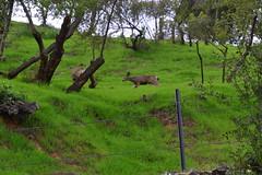 DSC_0062 (tracie7779) Tags: blacktaileddeer losangeles muledeer thegettymuseum california grass hillside