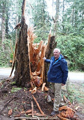 Storm damage on a cedar tree Galiano Island (D70) Tags: peter storm damage cedar tree galiano island sony dscrx100m5 ƒ18 88mm 1200 1600 galianoisland britishcolumbia canada