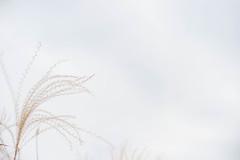 2018.11.16: susuki (Nazra Z.) Tags: vscofilm raw 2018 okayama japan autumn nature plant grass chinesesilvergrass