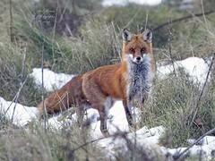 Red Fox. (rumerbob) Tags: redfox fox animal wildlife wildlifephotographer wildlifewatcher nature naturewatcher naturephotography warminsterpark canon7dmarkii canon100400mmlens