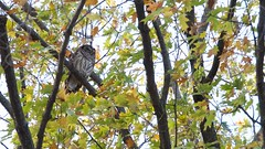 Barred Owl (mausgabe) Tags: olympus em1 olympusm40150mmf28 olympusmc14 nyc centralpark theramble azaleapond barredowl