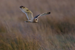K32P6548c Short-eared Owl, Burwell Fen, November 2018 (bobchappell55) Tags: asioflammeus shortearedowl burwell cambridgeshire bird flight wild nature hunting