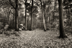 A Black And White Autumn (Alfred Grupstra) Tags: tree forest nature woodland outdoors autumn landscape footpath leaf scenics branch blackandwhite fog season nopeople nonurbanscene mystery parkmanmadespace tranquilscene spooky