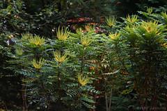 Autumn Bush (Bri_J) Tags: chatsworthhousegardens bakewell derbyshire uk chatsworthhouse gardens chatsworth statelyhome nikon d7500 autumn fall bush