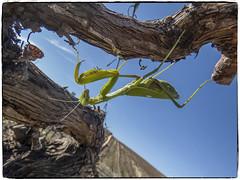 MANTIS RELIGIOSA (BLAMANTI) Tags: mantis mantisreligiosa insectos verde terrorifico canon canonpowershotsx60 blamanti viñedos viñas viticultura