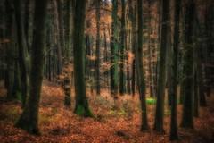 When grass, moss and lichen are the only greenery (Claudia G. Kukulka) Tags: forest wald trees bäume autumn fall herbst november leaves foliage laub blätter grass gras moss moos lichen flechte