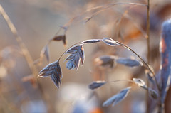 (kecotting) Tags: frost ice winter grass grasses northernseaoats seeds spikelet outdoors nature maryland fujifilm xt2 bokeh plants