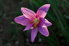 _DSC5474 (@Katerina Log) Tags: florafauna flower foliage natura nature depthoffield bokeh blossom katerinalog flickr sonyilce6500 outdoor pink fe70200mmf4goss