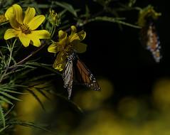 MonarchButterfly_SAF5840-1 (sara97) Tags: danausplexippus butterfly copyright©2018saraannefinke flowers insect missouri monarch monarchbutterfly nature photobysaraannefinke pollinator saintlouis towergrovepark urbanpark