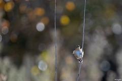 Cisticole des joncs (gilbert.calatayud) Tags: cisticolajuncidis cisticoledesjoncs cisticolidés passériformes zittingcisticola bird oiseau laddo domaine des oiseaux mazères ariège occitanie