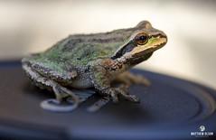 Pseudacris Influencer (matthewolsonphotography.com) Tags: frog pseudacris pacifictreefrog amphibian frogs treefrog wildlife oregon animal macro canon