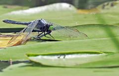 Dragonfly - Libellule (P9_DSCN8961-1PE-20180810) (Michel Sansfacon) Tags: dragonfly libellule nikoncoolpixp900 parcnationaldesîlesdeboucherville parcsquébec faune