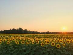 Sunflower Field (RMurray1986) Tags: sunset field summer sunflower sunflowers