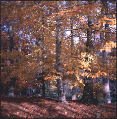 back home (steve-jack) Tags: hasselblad 501cm 80mm cb kodak ektachrome e100s film 6x6 120 beech trees autumn tetenal e6 kit epson v500