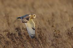 K32P8212a Short-eared Owl, Burwell Fen, November 2018 (bobchappell55) Tags: asioflammeus shorteared owl burwellfen cambridgeshire bird wild wildlife nature flight