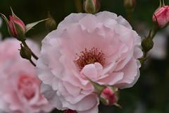 Rose 'Geisha' raised in Germany (naruo0720) Tags: rose germanrose geisha germanrosescollection バラ ドイツのバラ 芸者 ゲイシャ ドイツのバラコレクション nikonscamera sigmalenses d810 sigma105mmf28exdgoshsm