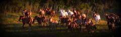 Entropilhando (Eduardo Amorim) Tags: cavalos caballos horses chevaux cavalli pferde caballo horse cheval cavallo pferd tropilhas tropilla tropillas crioulo criollo crioulos criollos cavalocrioulo cavaloscrioulos caballocriollo caballoscriollos campo field champ auffangen pampa campanha pelotas costadoce riograndedosul brésil pôrdosol poente entardecer poniente atardecer sunset tramonto sonnenuntergang coucherdesoleil crepúsculo anoitecer mindigtopponalwaysontop brasil sudamérica südamerika suramérica américadosul southamerica amériquedusud americameridionale américadelsur americadelsud cavalo 馬 حصان 马 лошадь ঘোড়া 말 סוס ม้า häst hest hevonen brazil eduardoamorim