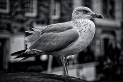 Portrait of a fierce creature (2) (Phancurio) Tags: seagull monochrome padstow portrait