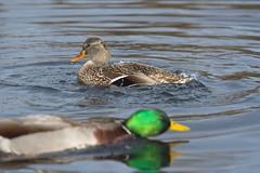 (JSB PHOTOGRAPHS) Tags: nd31507 ducks mallard altonbakerpark pond eugeneoregon water nikon d3 80400mm