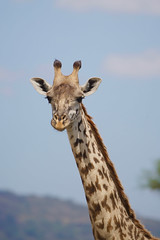 a relaxed youngster (cirdantravels (Fons Buts)) Tags: ngc giraffa giraffe girafe tippelskirchi artiodactyla giraffidae eventoedungulates serengeti filipbuts