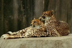 Cheetah Pair 4 (Emily K P) Tags: milwaukeecountyzoo zoo animal wildlife bigcat cat feline cheetah two pair snowing snow spots yellow neutral rock friends