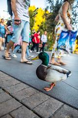 Disneyland Halloween 2018 (Frogday) Tags: disneyland duck disneylandduck