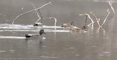 Canard chipeau - Gadwall (dom67150) Tags: animal oiseau bird wildlife nature canardchipeau anasstrepera gadwall plandeaudeplobsheim krafft