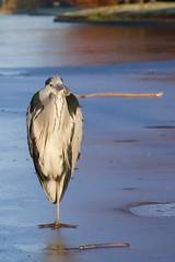 bain de soleil d'hiver (Patrick Doreau) Tags: grey heron gris héron oiseau bird hiver winter lac lake england angleterre sunbath baindesoleil