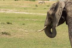Grazing Elephant (BikerBoy33) Tags: kenya african elephant masai maasai mara reserve park wlidlife grass eating safari travel sony alpha a6000