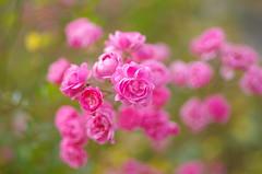 A floral autumn (Baubec Izzet) Tags: baubecizzet pentax bokeh roses flower autumn nature
