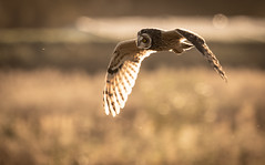 Eye on the fly (Steve D'Cruze) Tags: shortie short eared owl lunt meadows asio flammeus sefton lancashire merseyside nikon d500 sigma