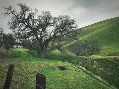 """""""The Guardian"""" (bradhodges09) Tags: landscapes nature greengrass california greenhills cattle cattleranching cattleranch ranch ravine secluded oaktree oaktrees oak"""