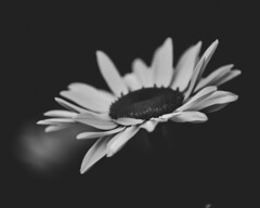 Daisy (yerica38) Tags: flower daisy blackandwhite bw nature pedals daisies outside outdoors natural garden white whiteflower grow blossom