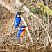 Madagascar Malachite Kingfisher (Corythornis vintsioides), pair