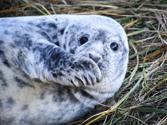 oops, I forgot your birthday again ?! (littlestschnauzer) Tags: donna nook grey seal nature wildlife animals cute adorable weeks old flipper looking eyes big baby young youngster 2018 november lincolnshire coast fluffy