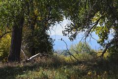 forest raptor (heartinhawaii) Tags: landscape autumnlandscape autumncolors fall bird silhouette forest henderson adamscounty colorado nature nikond3300