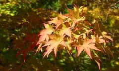 Hojas (alfonsocarlospalencia) Tags: hojas segovia otoño colores rojo verde botánico luz naturaleza octubre paseo formas reflejos sencillez paz nervios ramas árboles desenfoque tonos escondite contrastes