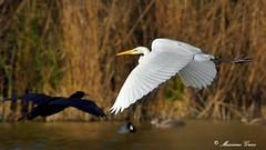 Incroci aerei (Massimo Greco *) Tags: aironebiancomaggiore cormorano oasidialviano ngc