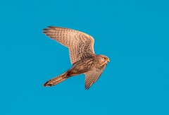 Kestrel (PIX SW) Tags: kestrel