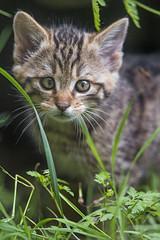 The cutest wildcat kitten! (Tambako the Jaguar) Tags: wildcat wild feline kitten young baby cute close portrait closeup grass vegetation spring tierpark goldau zoo switzerland nikon d5