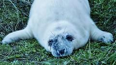 baby grey seal 3 (Mallybee) Tags: cute newborn baby seal pup grey wild wildlife donna nook fuji fujifilm xt3 mallybee apsc xtrans mirrorless 1855mm xf fujinon f284 beach lincolnshire england