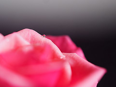 A Lonely Spot (Smiffy'37) Tags: rose flower waterdrop pink macro