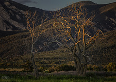 Long lives lost (Dave Arnold Photo) Tags: nm nmex newmex newmexico taos pueblo valley taoscounty desert mountain plantlife tree dead forest image pic us usa picture severe photo photograph photography photographer davearnold davearnoldphotocom scenic cloud rural party summer weather top wet canon 5d mkiii 100400mm huge big county landscape nature outdoor cloudy sky season mountains southwest grass green orange blue ranch ranchland farm cattle herd cliff butte rock cactus cacti