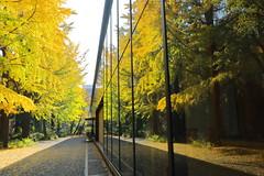 Big Ginkgo Trees (seiji2012) Tags: 東京 東京大学 反射 銀杏 tokyo tokyouniversity reflection japan happyplanet asiafavorites