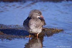 Anatra mandarina _008 (Rolando CRINITI) Tags: anatra anatramandarina uccelli uccello birds ornitologia avifauna racconigi natura
