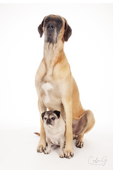 Floyd & Plug (carla ghysels) Tags: greatdane petphotography pet pug highkey studiophotography carlagphotography dog dogs friends big little