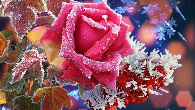 Обои природа, Зима, красота, Роза, супер. цветы картинки на рабочий стол, раздел цветы - скачать