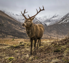 Wild Thing (SkyeWeasel) Tags: scotland glenetive deer reddeer stag animal mountains wildlife mammal nature ruminant cervuselaphus ngc npc