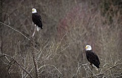 Working together - Bald Eagles (foto tuerco) Tags: bald eagles pair perched oregon