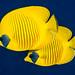 Masked Butterflyfish, pair - Chaetodon semilarvatus